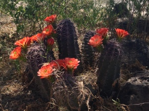 The cacti here bloom beautifully!  Isn't God amazing?