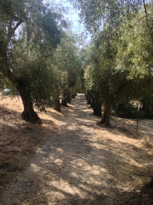 An olive grove that uplifts the heart and mind to God's will for our lives.